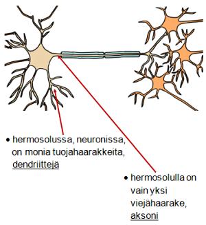 Hermoimpulssin Eteneminen